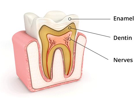 Tooth cross section showing Enamel, Dentin and Nerves
