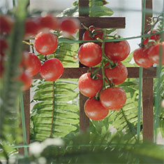 How to grow sweeter tomatoes with baking soda.